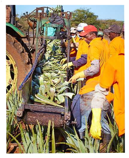 Gathering the Cut Leaves of Aloe barbadensis Miller Plants