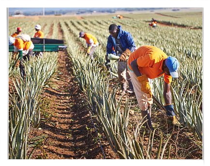 Harvesting of Aloe barbadensis Miller Plant Leaves