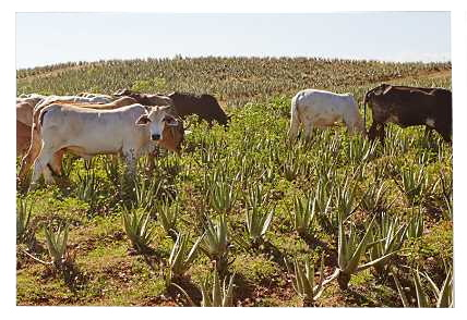 Providing natural fertilizer from cows in Forever Living's Aloe Vera plantations