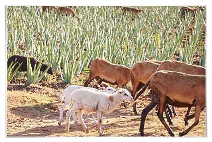 Natural pest control and natural fertilizers provision from sheep and goats in Forever Living's Aloe Vera plantations