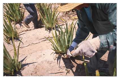 Farmers Hand Cultivating Forever Living's Aloe barbadensis Miller Plants