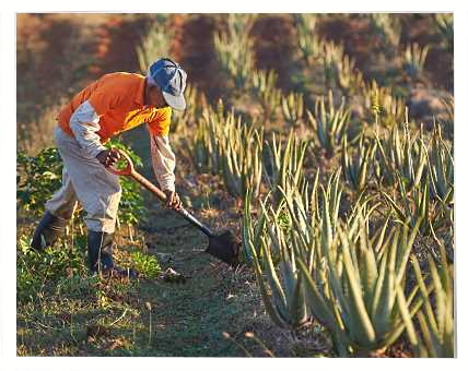 Farmers Cultivating Forever Living's Aloe barbadensis Miller Plants